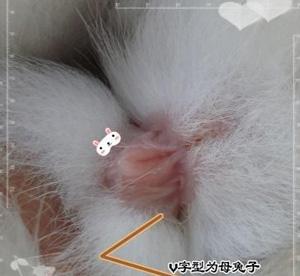 图片详解 教你如何分辨公母兔图片