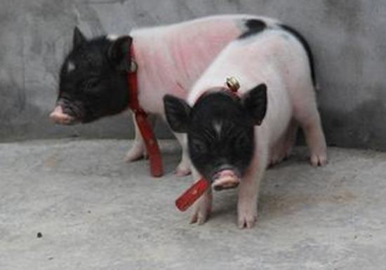 宠物猪迷你小香猪dd超可爱的泰国迷你小香猪买一送五330元  纯种小